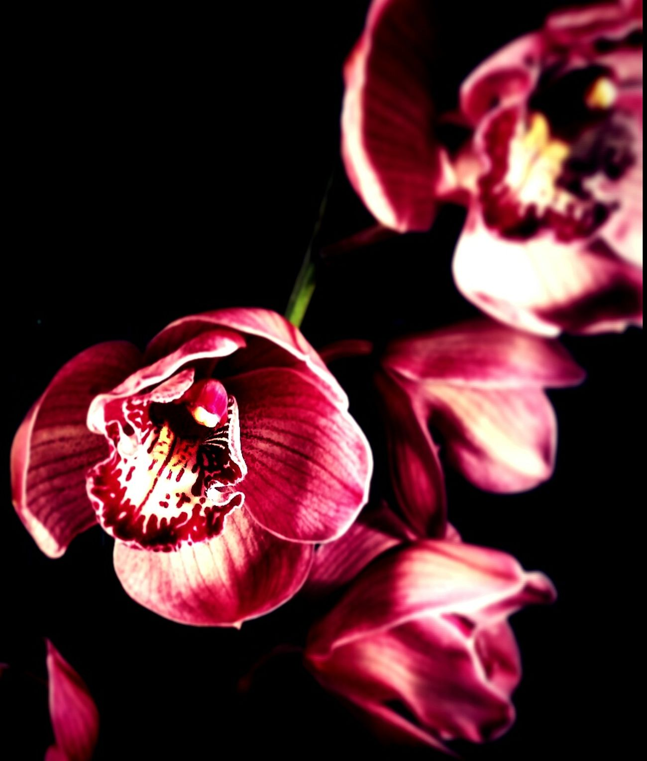 With freedom, books, flowers and the moon, who could not be happy? ~ Oscar Wilde Oscarwilde Oscarwildequotes Quoteoftheday Quotes Quote Of The Day  Orchids Orchidee Orchid Blossoms Orchid Flowerporn Flowers Cymbidium