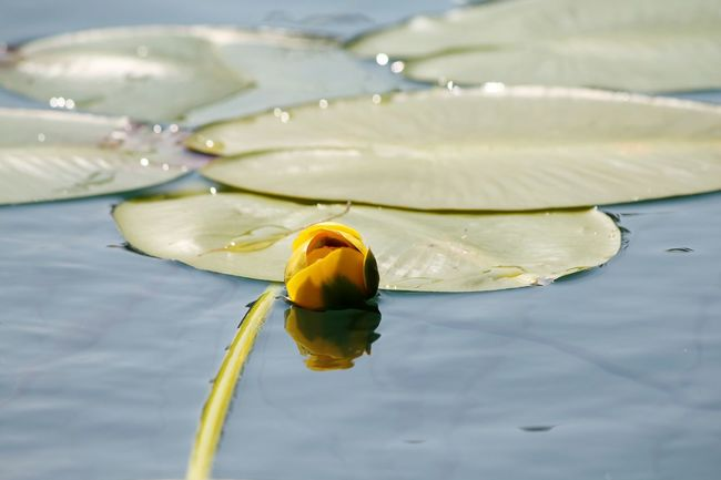 Hello World Check This Out Hanging Out Taking Photos Relaxing Enjoying Life Lilypad Lilypads Lilypadflower Lily Pads Lily Rose Lakelife Lake Life Water Water Reflections Water Reflection Clear Water Clearwater Springwater  Minnesota Minnesota Nature Beauty In Nature SimplyAmazing