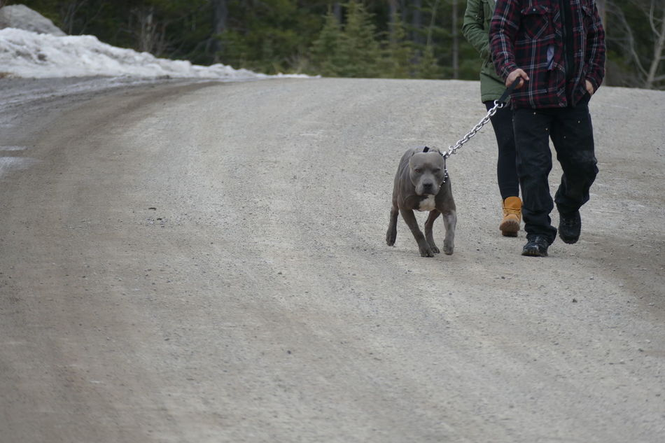 Out for a drag. Brute Dog Domestic Animals Gravel Road Heads Cut Off Leashed Low Angle Outdoors Pit Bull Strain