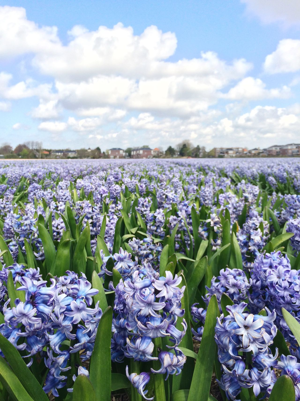 Dutch Landscape Flower Fields Holland Hiacynth Blue Flowers Mass Beautiful Nature Netherlands Bulbous Flowers