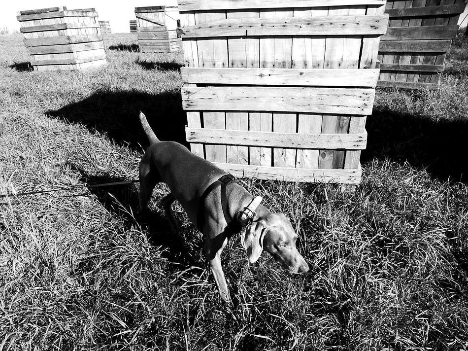 apple picking... Crates Dog Weimaraner Weimaranerlove Weim Cute Pets Eyeemdog Blackandwhite