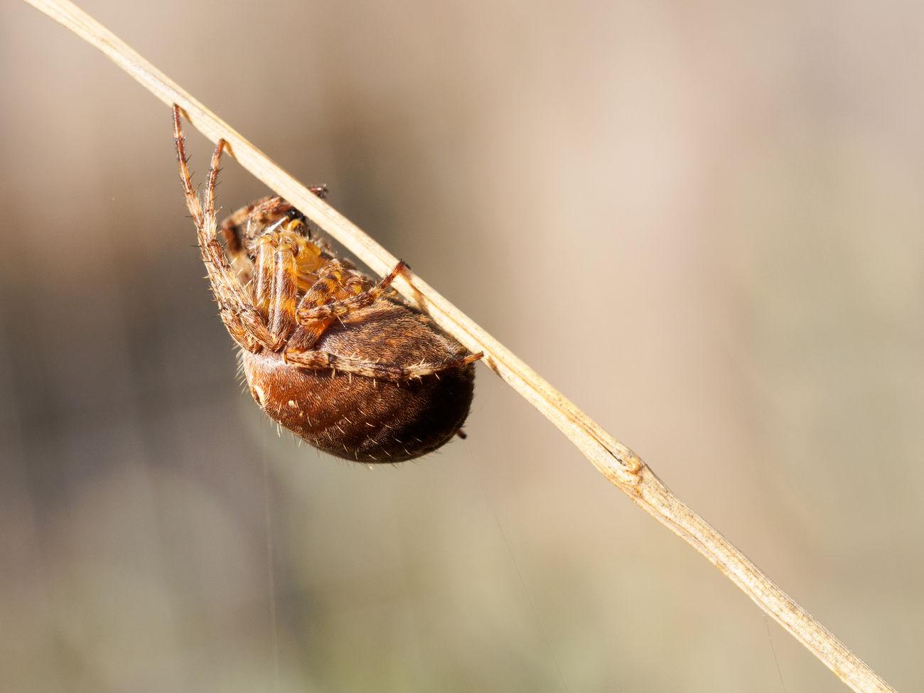 Beautiful stock photos of spinnen,  Animal Wildlife,  Animals In The Wild,  Arachnid,  Arthropod