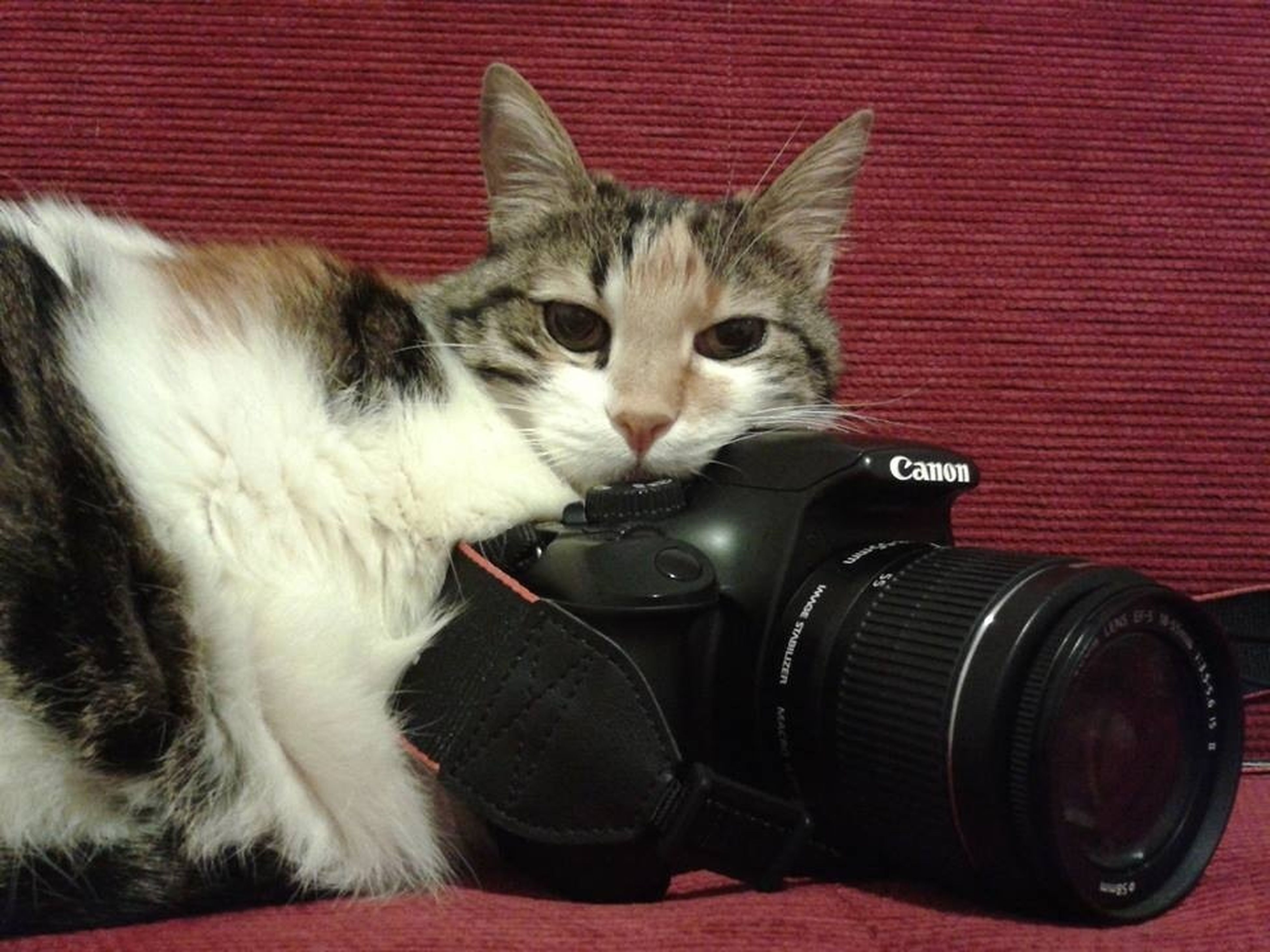 domestic animals, pets, domestic cat, cat, one animal, mammal, animal themes, feline, looking at camera, portrait, whisker, indoors, red, sitting, close-up, front view, relaxation, animal eye, one person, staring