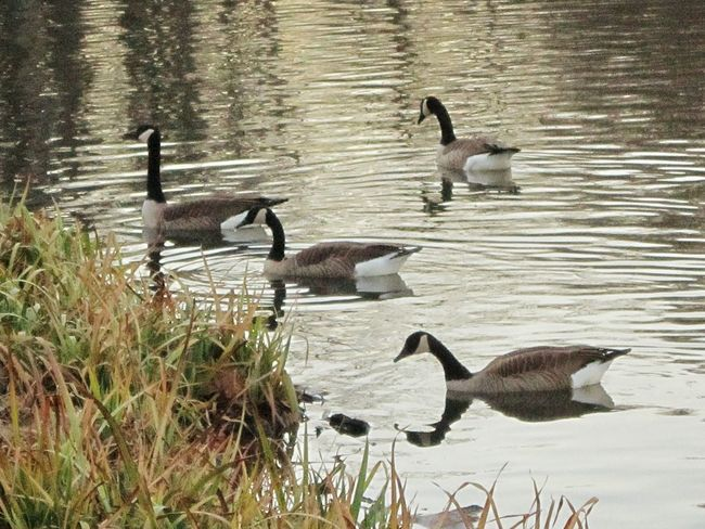 Geese Family Geese At The Lake Naturelover❤ Natures Beauty Lake Beauty Along The Bank Beauty Everywhere