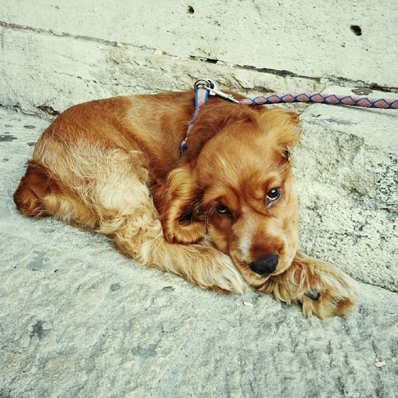 Little Doggie San Marino italy dog puppy awesome brown