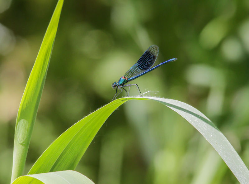 Banded Demoiselle at Sculthorpe Moor in Norfolk, East Anglia. Animal Wildlife Banded Demoiselle Beauty In Nature Close-up Day Growth Insect Nature Nature Photography Norfolk One Animal Outdoors Predator Relaxing Spectacular Wildlife & Nature Wildlife Photography