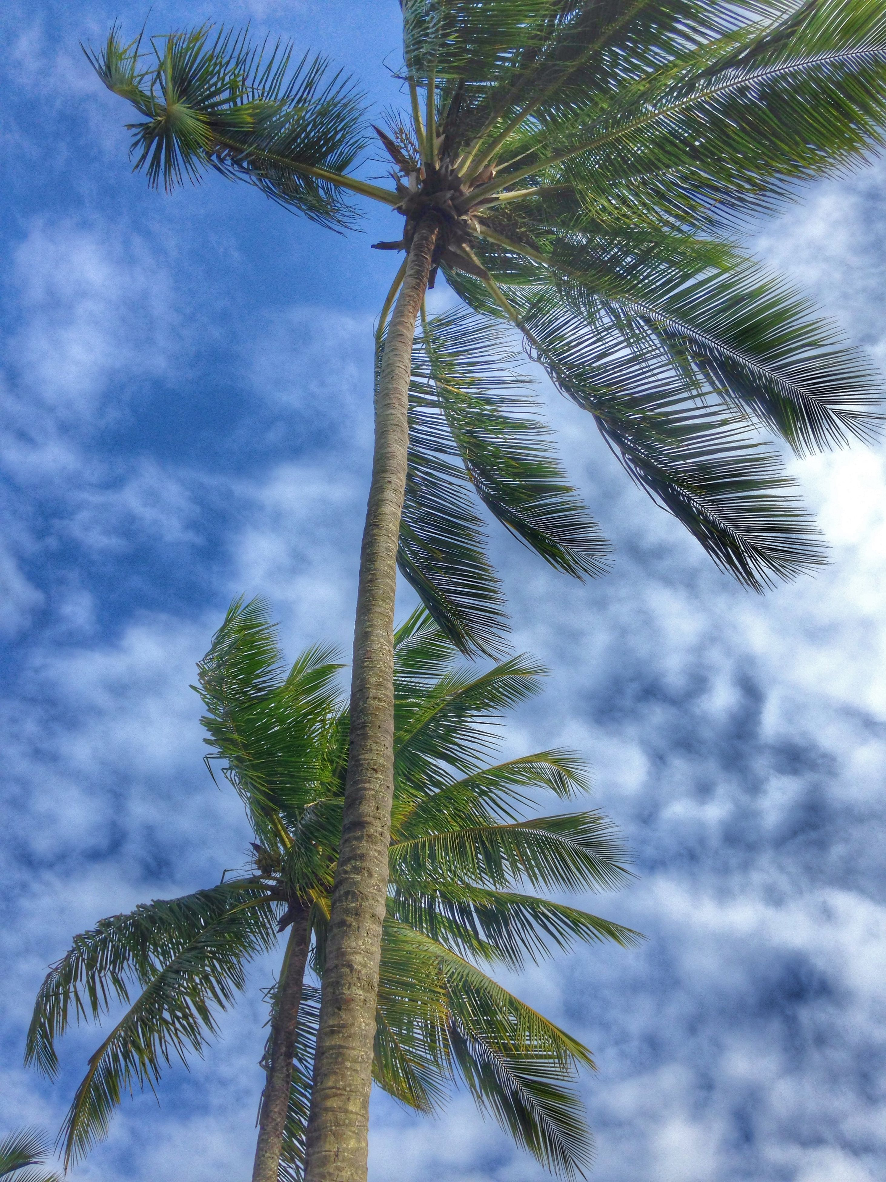 tree, palm tree, low angle view, sky, cloud - sky, tree trunk, growth, tranquility, cloudy, nature, cloud, beauty in nature, branch, scenics, tranquil scene, coconut palm tree, day, palm leaf, outdoors, tall - high