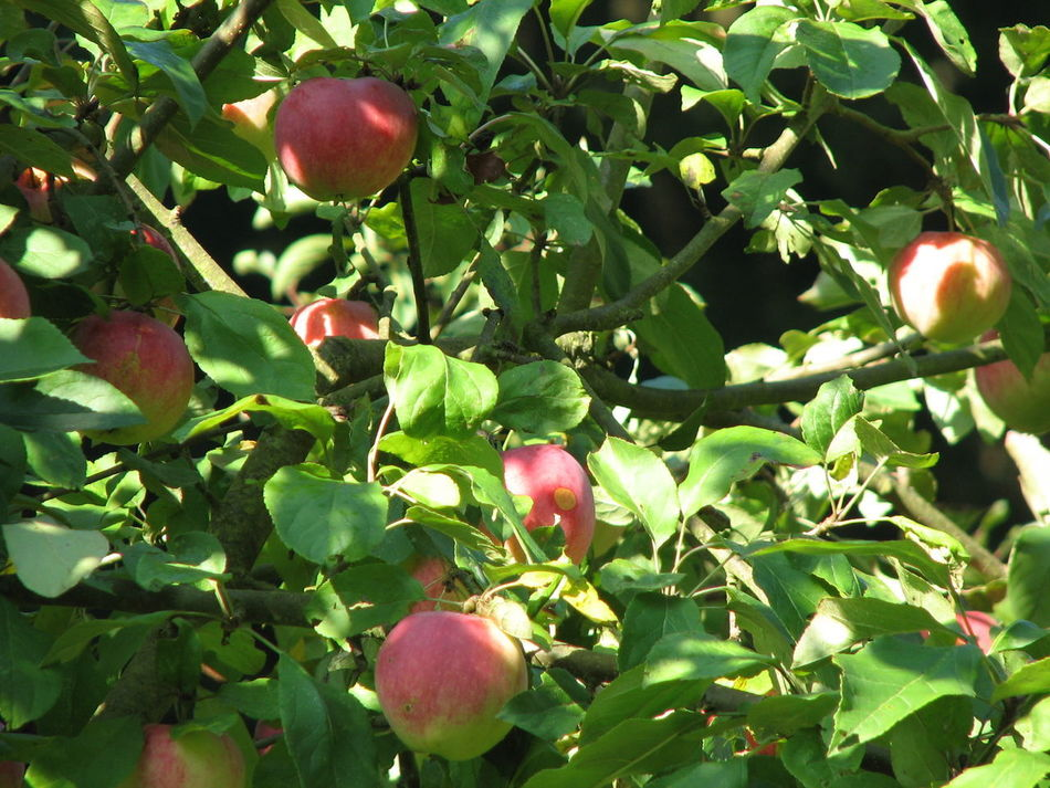 Biagio Costagliola Apple Apple - Fruit Beauty In Nature Branch Close-up Day Food Food And Drink Freshness Fruit Green Color Growing Growth Healthy Eating Leaf Low Angle View Nature No People Outdoors Peach Red Sunlight Tree Unripe