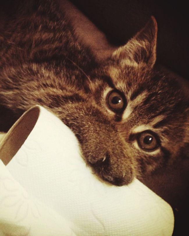 My new kitten <3 Cats Kittys  Cute