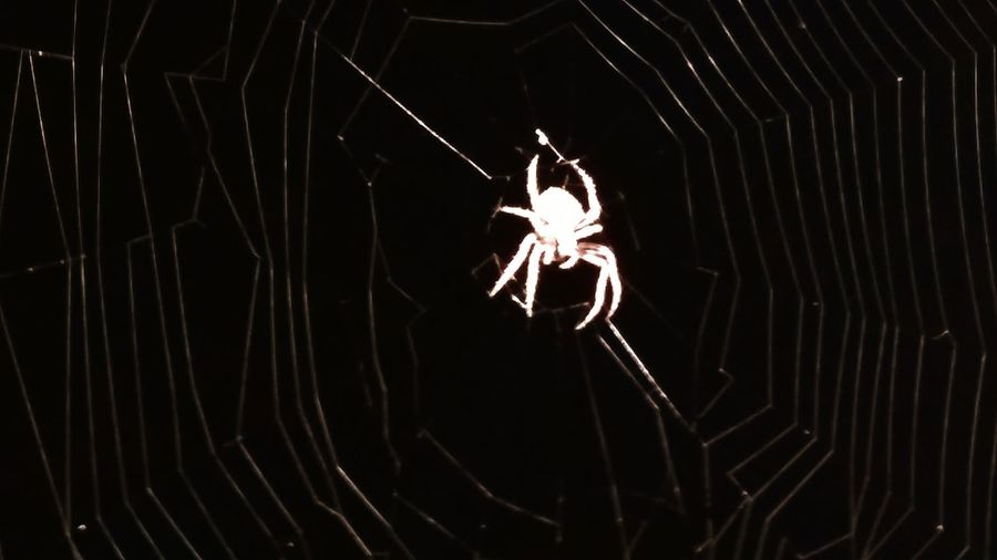If looks could kill, I'd be dinner. This guy, hanging around outside my back door. Guy Spider Spiderweb