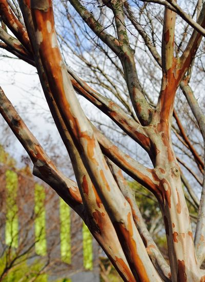 Crepe myrtle Outdoors Tree Branch Beauty In Nature