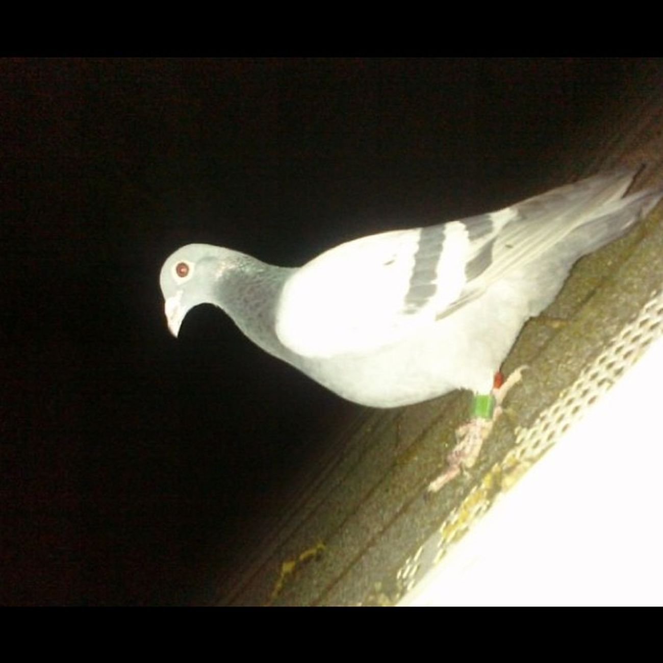 This little guy has been chillin on my roof since like 6, he won't let us touch him and we tried giving him food. If he's still there tomorrow were gonna call an animal place (:  PigeonSoCute