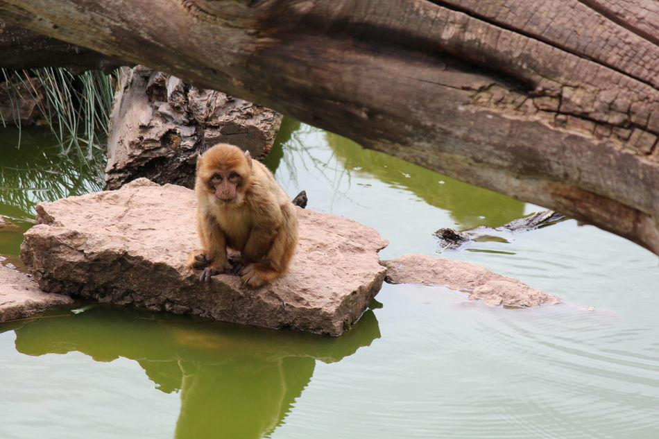 Affen aus dem Erfurter Zoo. One Animal Water Animal Themes Wildlife Zoology River Waterfront Day Outdoors Animals In The Wild Monkey