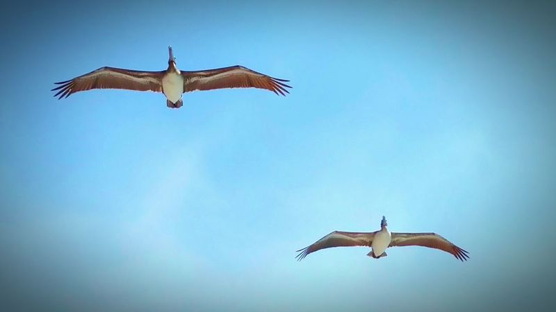 Pelicans overhead! Wildlife Photography Pelicans In Flight Quick Shot Animal Photography Birds Of EyeEm  Birds In Flight Bird Photography Birds_collection Spread Your Wings Feel The Breeze Gliders Feathered Friends Overhead View Pelicans Sarasota Florida Lido Key Bird Lovers Birdwatching