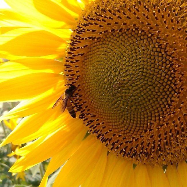Sunflowers HoneyBee Indiapic Flowers Instapic Yellowflower Natur Yellow Sun