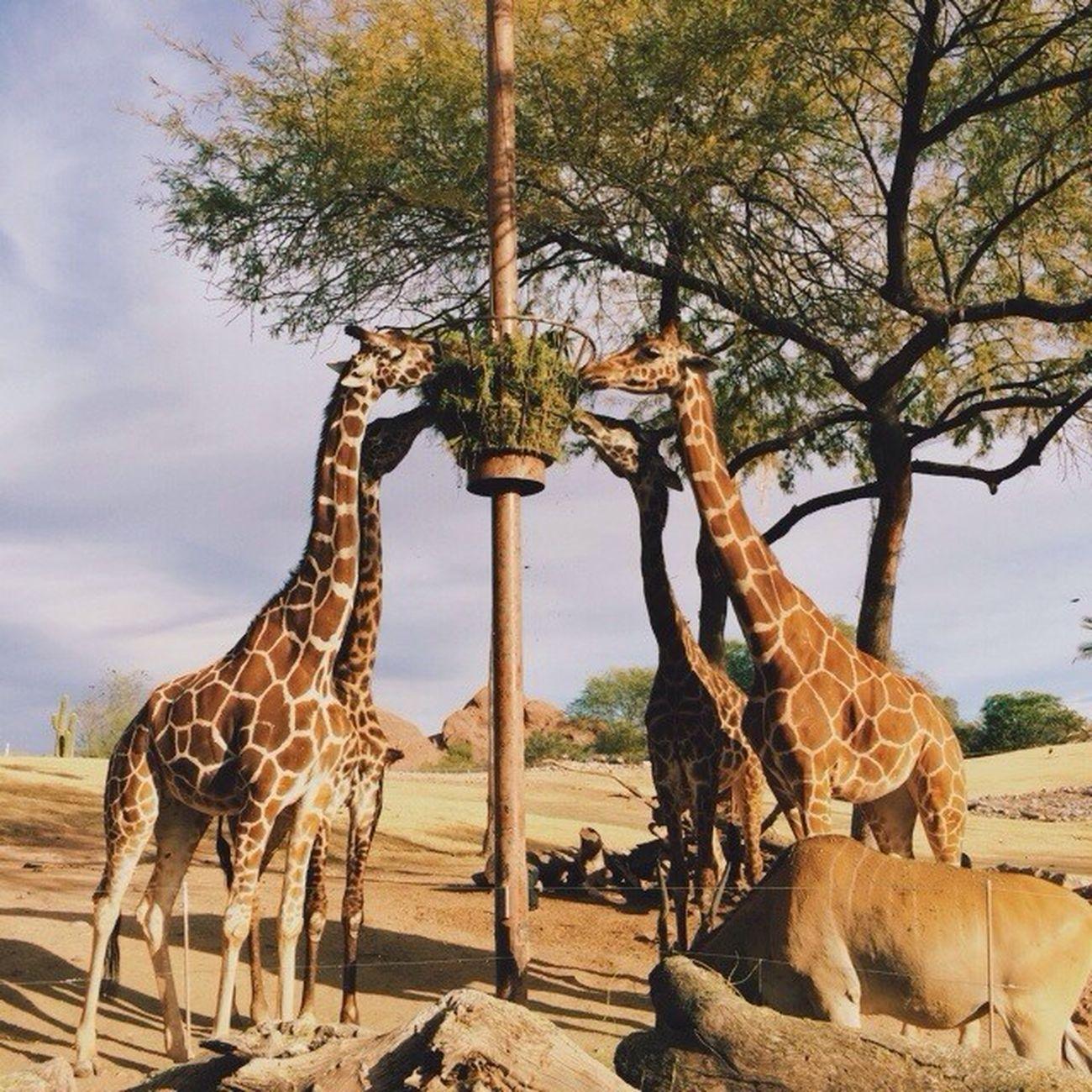 Vscocam VSCO Vscoarizona Instagramaz arizona phoenix giraffe zoo