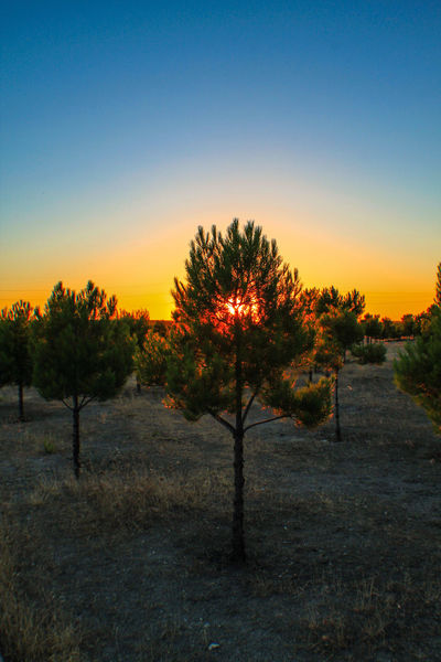 Simplicity Sunset_collection Sun Behind The Tree Sun Behind Tree Tree Art Pinustree Pinus Walking Around Check This Out EyeEm Gallery Walking Around Taking Pictures Sunset Sunset Silhouettes Madrid, Spain Lagavia Showcase July Colour Of Life