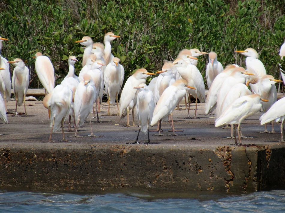 Cattle Egrets Animal Themes Animals In The Wild Babys Bird Day Domestic Animals Large Group Of Animals No People Outdoors White Color