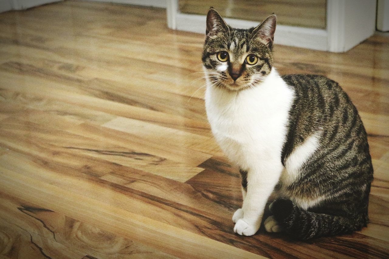 pets, domestic cat, domestic animals, one animal, animal themes, mammal, sitting, indoors, hardwood floor, feline, looking at camera, portrait, no people, close-up, day
