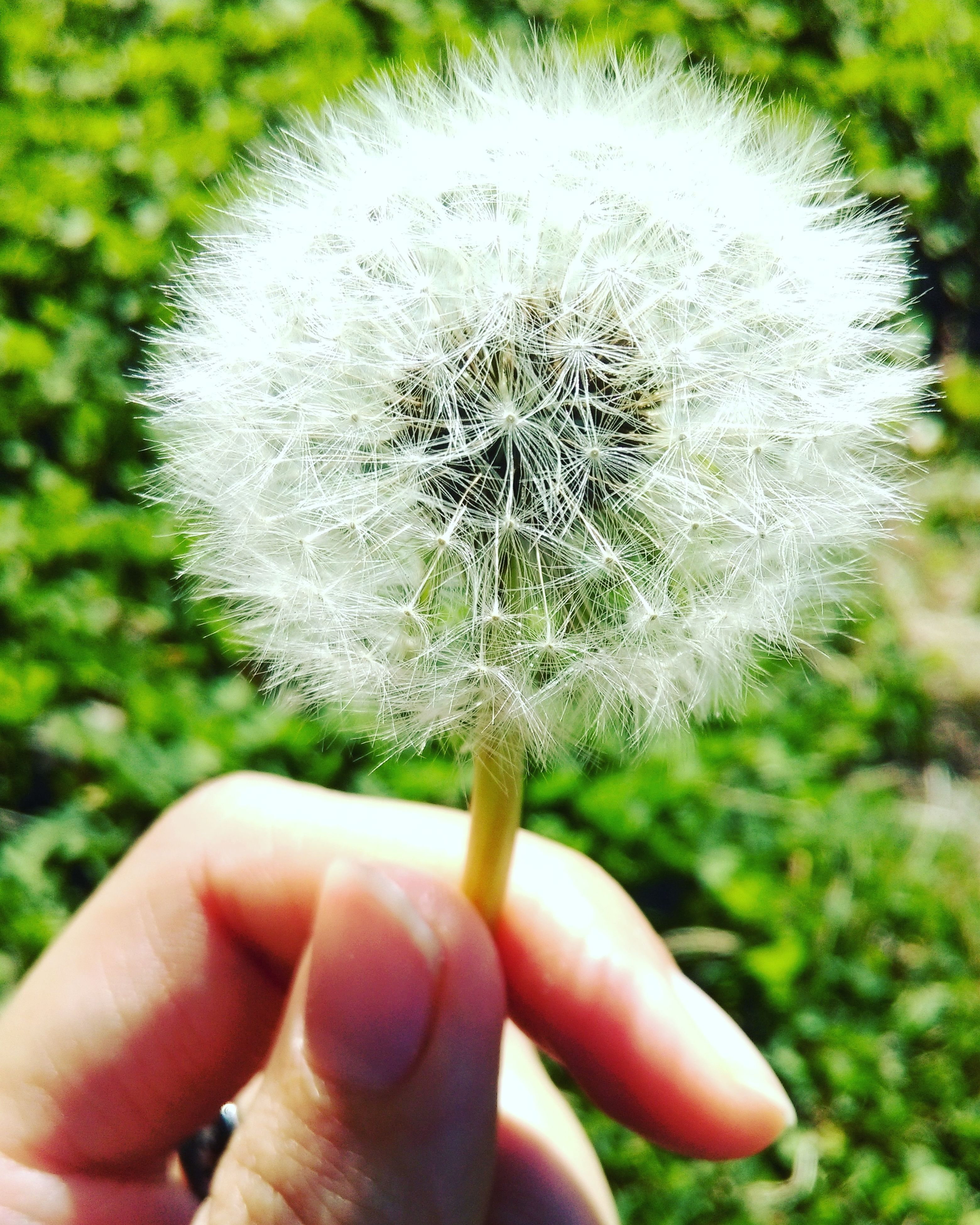 dandelion, flower, single flower, fragility, flower head, close-up, freshness, focus on foreground, growth, white color, person, holding, softness, beauty in nature, nature, uncultivated, dandelion seed, one person, part of, white