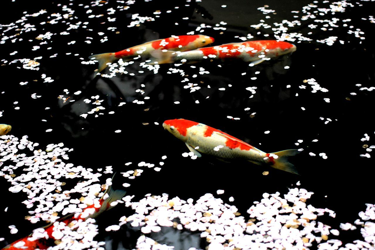 Beautiful stock photos of fish, Animals In The Wild, Blossom, Day, Elevated View