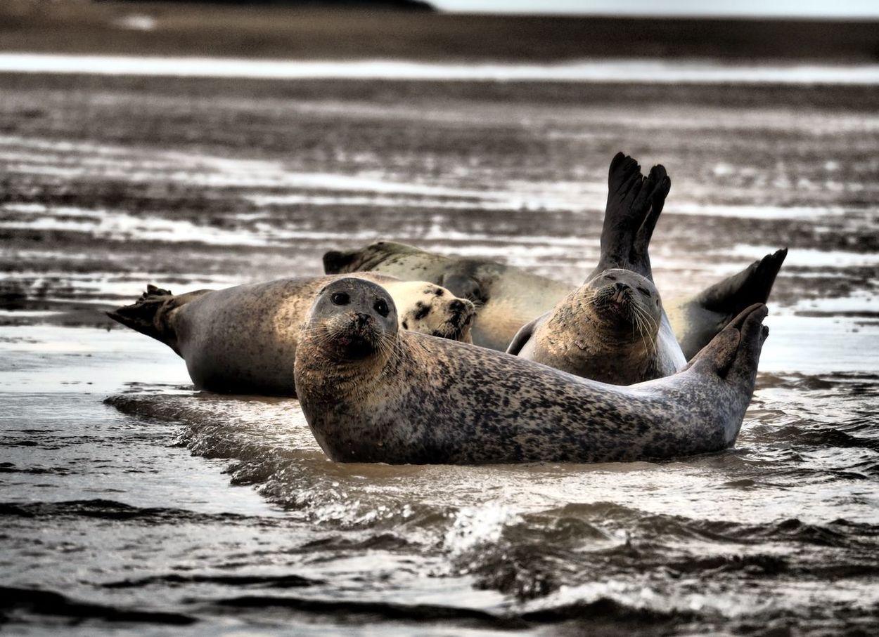 Norfolk Seals Animal Themes Animal Wildlife Animals In The Wild Aquatic Mammal Beach Beauty In Nature Mammal Nature Relaxation Sea Sea Life Seal - Animal Seals Seals On Beach Seals On The Sea Shore Water Wildlife