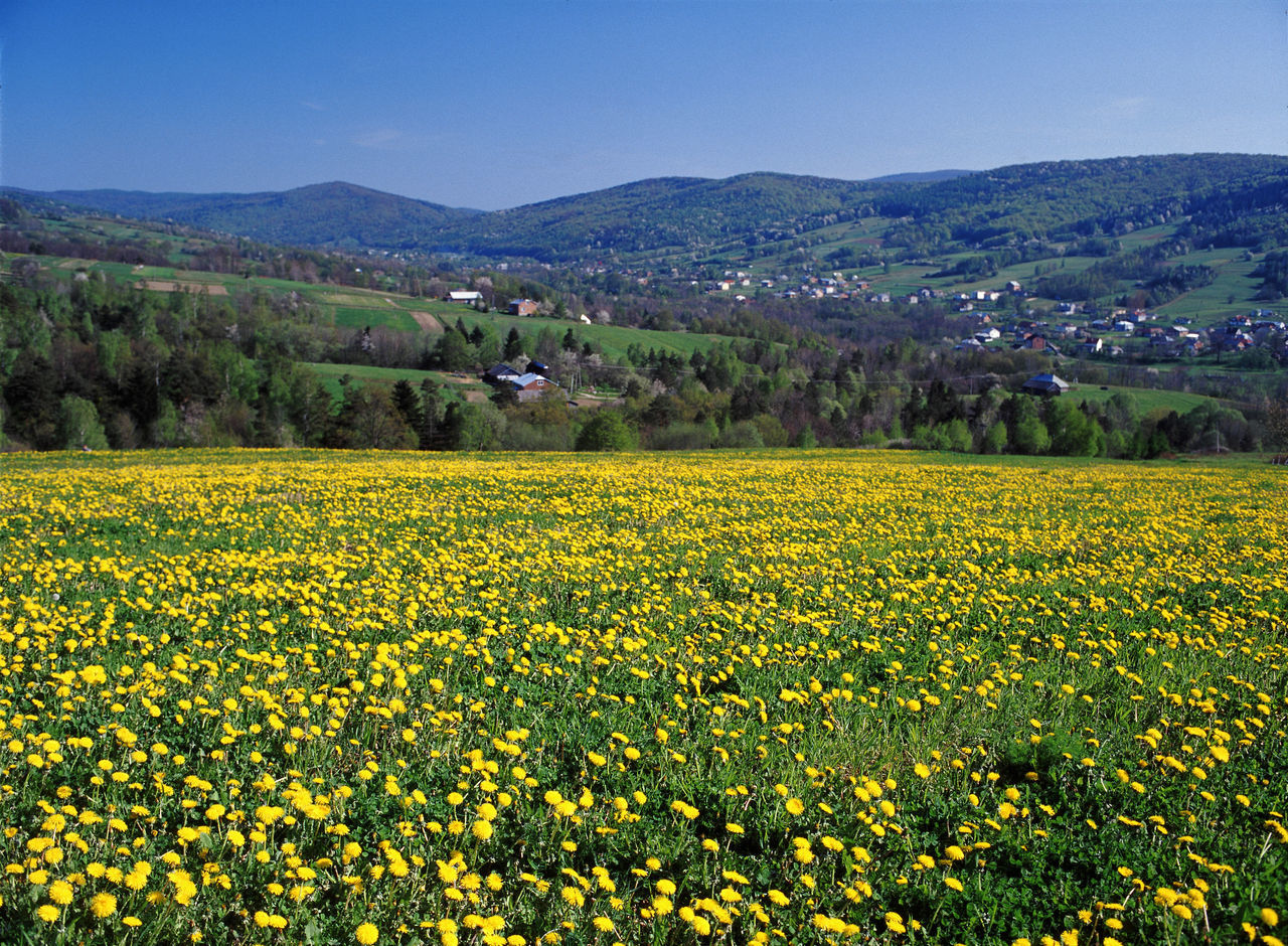 Beskid Beskid Niski Flower Plant Flowers Mountain Poland Yellow