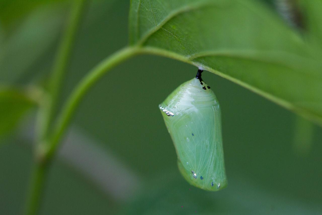 淡紋青斑蝶(Blue Tiger,學名:Tirumala limniace)又名粗紋淡紋青斑蝶,是一種廣泛分布於東南亞及印度的斑蝶。多在林緣出現,飛行緩慢,冬季會跟其他斑蝶集聚在山谷過冬。幼蟲的寄主植物為南山藤、馬利筋、球蘭、吊裙草。 蛹 蝴蝶 變態 生態 昆蟲 微距鏡頭 微距