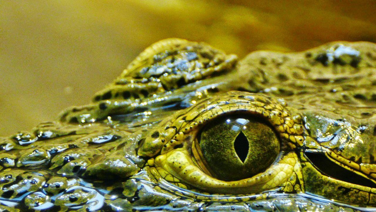 Crocodile Animal Life Amazing Dangerous Living Things Animal Themes Reptiles Wildlife Wildlife Photography Eye Macro Nature Macro Photography Macro Animal Nature Photography Nature