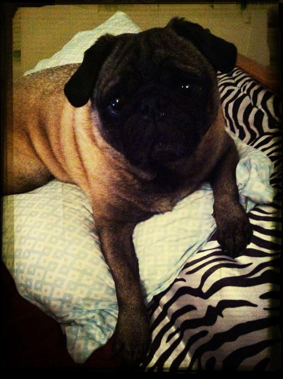 My adorable pug, Moe ❤️ Pug I Love My Dog He Is So Cute