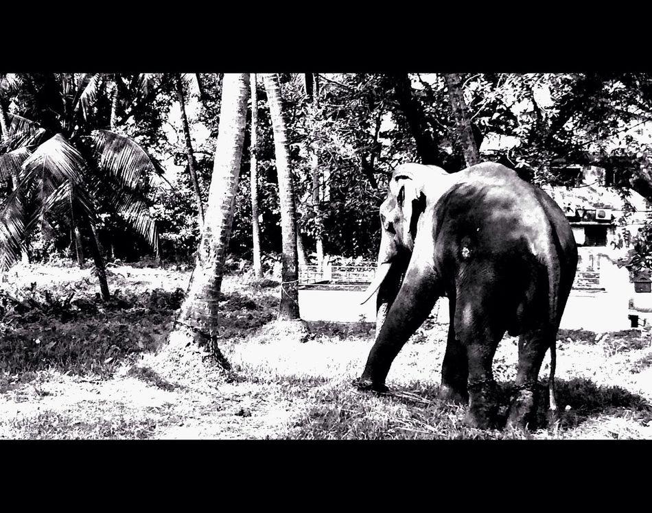Nap. 1.78:1 Blackandwhite Elephant India