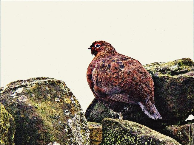 Bird Grouse Cold Wet Day Stone Wall