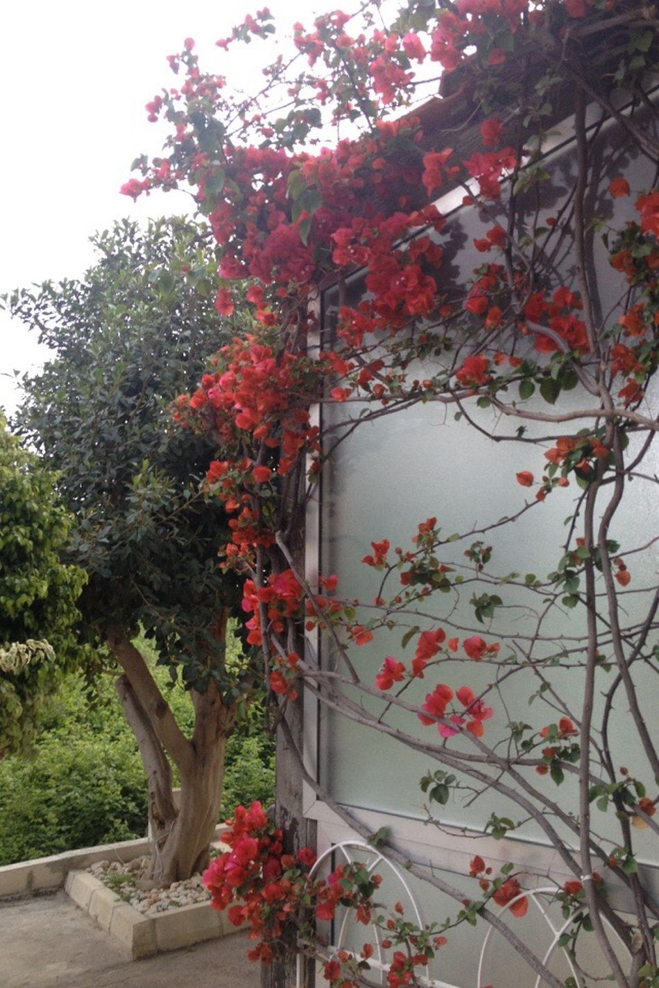 Growth Flower Nature Tree Plant Beauty In Nature Blossom Freshness No People Outdoors Bougainvillea