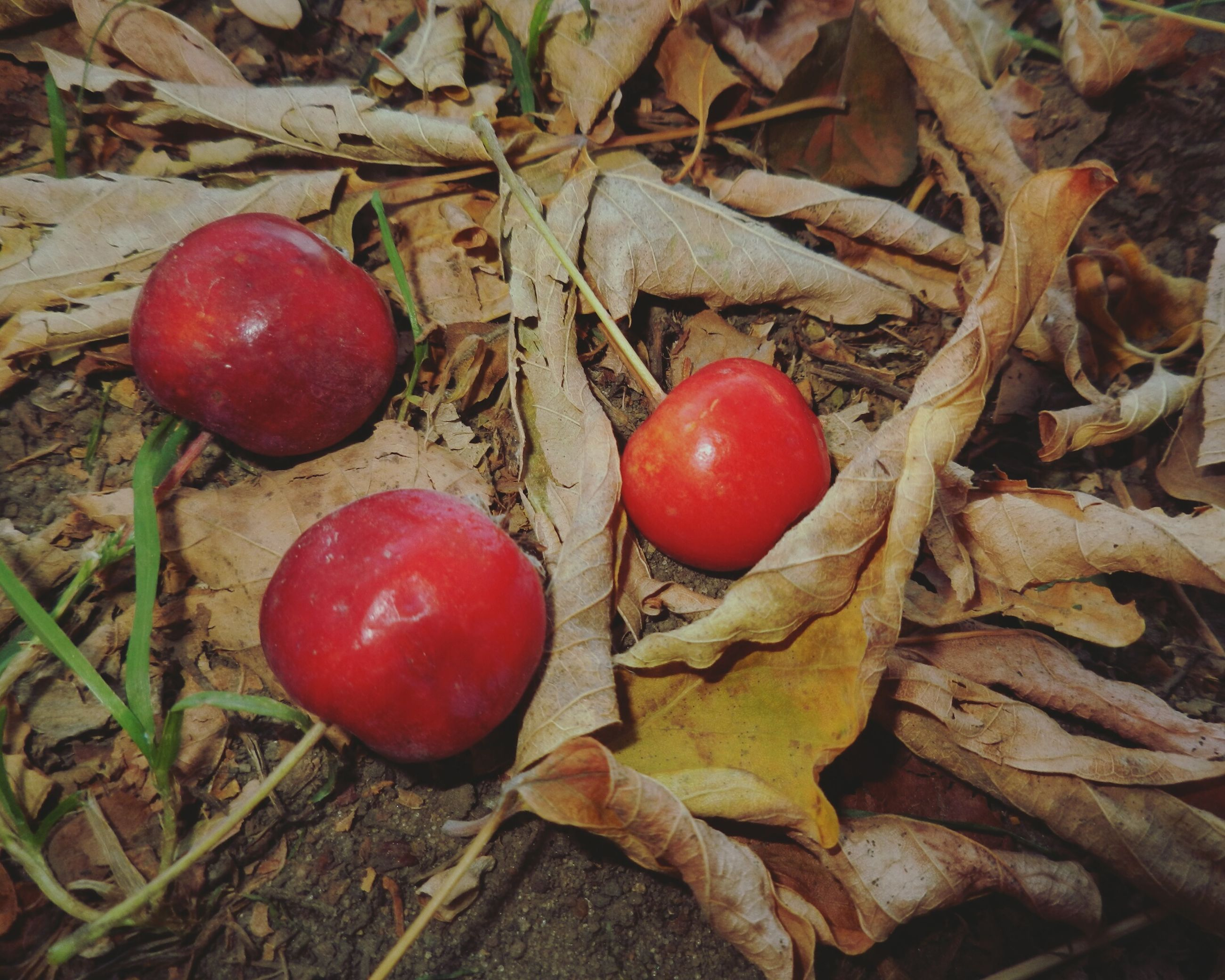 food and drink, red, food, healthy eating, freshness, fruit, vegetable, tomato, close-up, high angle view, mushroom, ripe, field, still life, no people, day, leaf, stem, organic, nature
