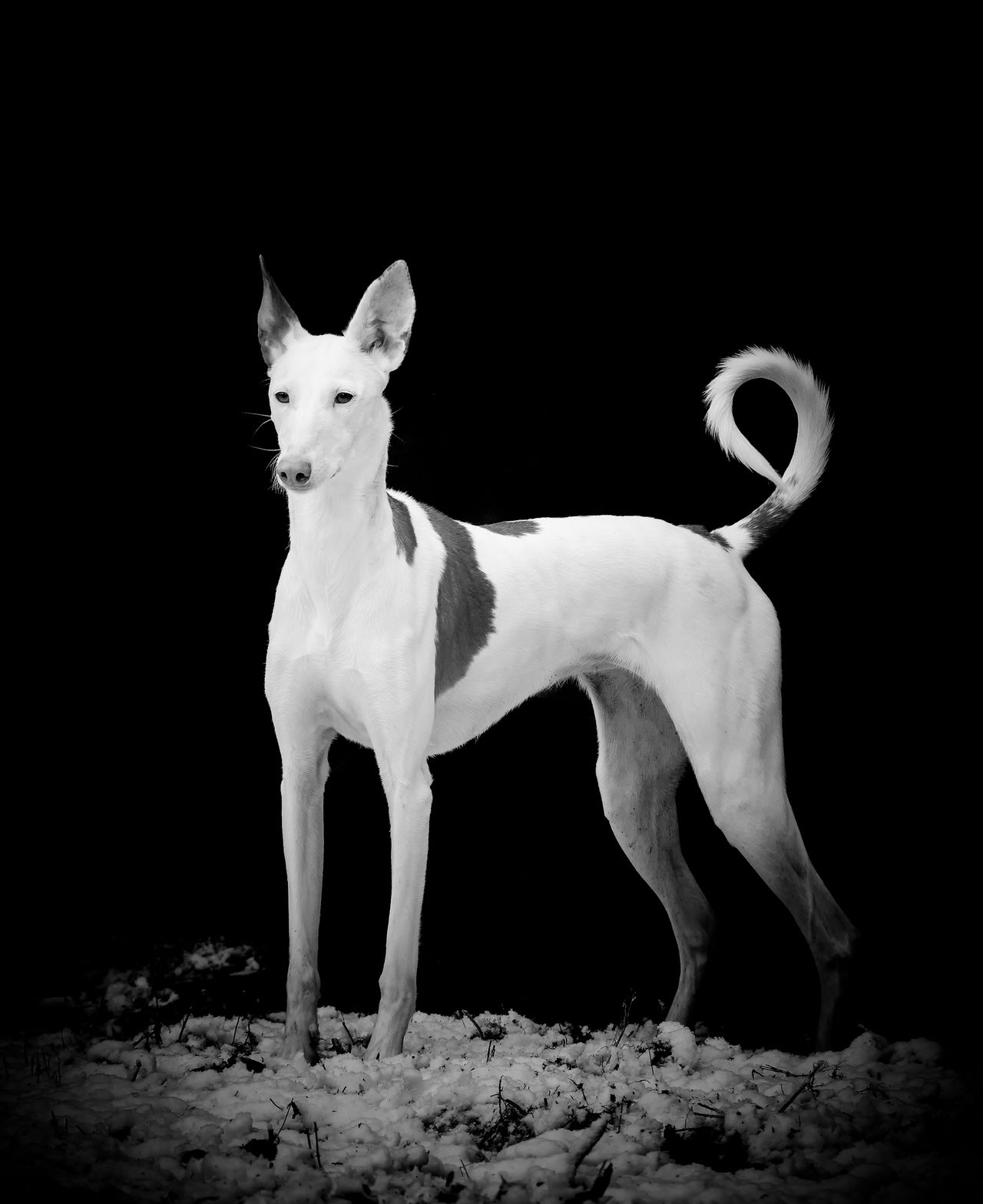 Animal Themes Black Background Dog Full Length Ibizan Hound Mammal Night No People One Animal Outdoors Pets Podenco Ibicenco Studio Shot
