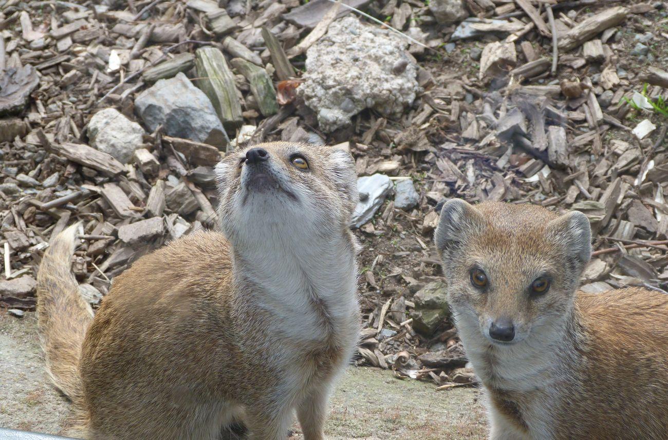 Mongoose Yellow Mongoose Wildlife Park