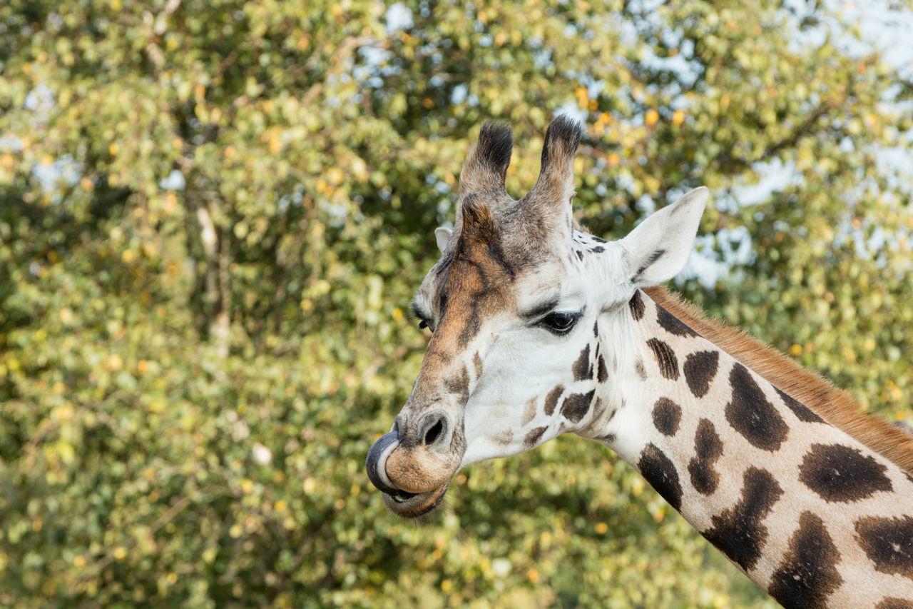 Beautiful stock photos of giraffe, Animal Head, Animal Markings, Animal Nose, Animal Themes