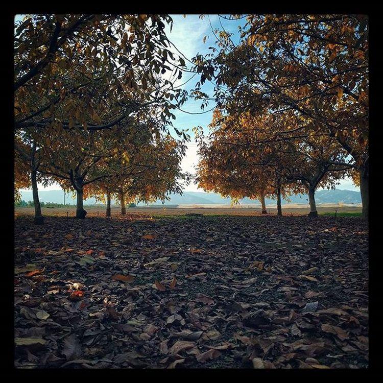 Walnut Grove in Winters...Walnutgrove Landscape Farm Rural Fall Yellow Walnut Wintersca Vanishingpoint