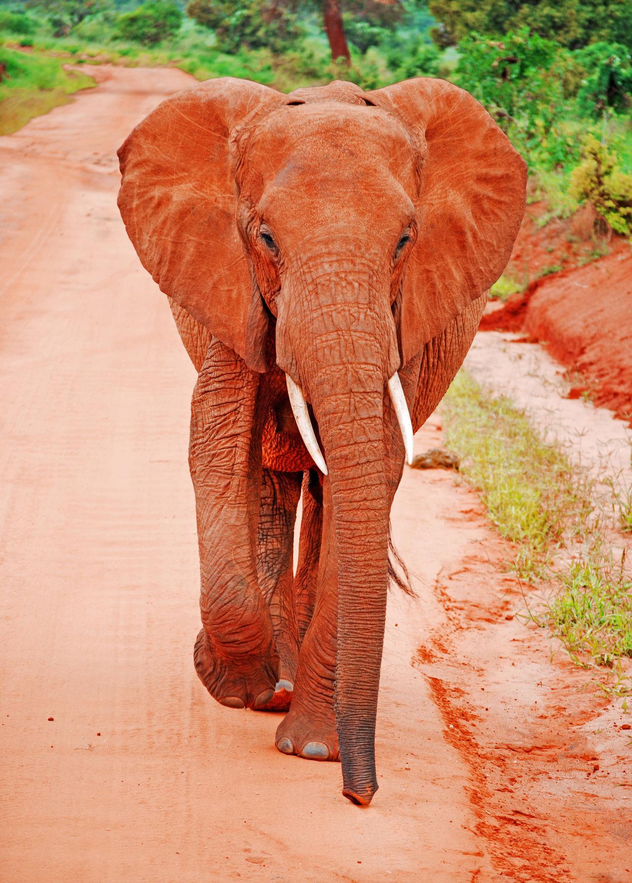 African Elephant Animal Animal Wildlife Animals In The Wild Elephant Kenya Kenyan Land Mammal Nature Outdoors Red Elephant Trunk Tusk