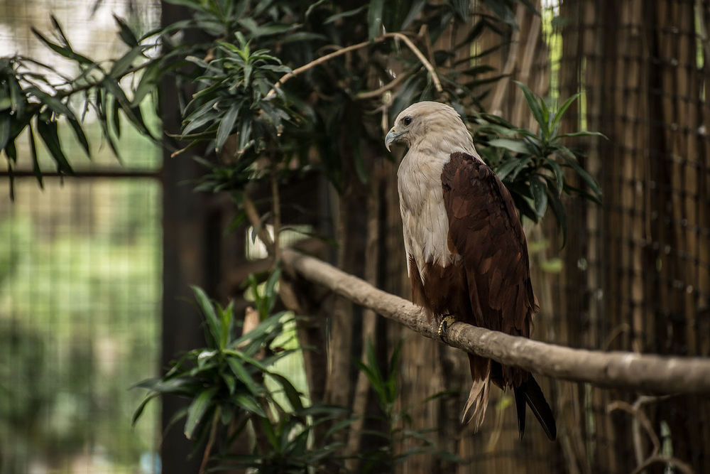 Animal Themes Animal Wildlife Animals In The Wild Bird Bird Of Prey Branch Day Eagle Eagles Eyeem Philippines Nature No People One Animal Outdoors Perching Philippine Eagle Serpent Eagle Tree White Bellied Eagle