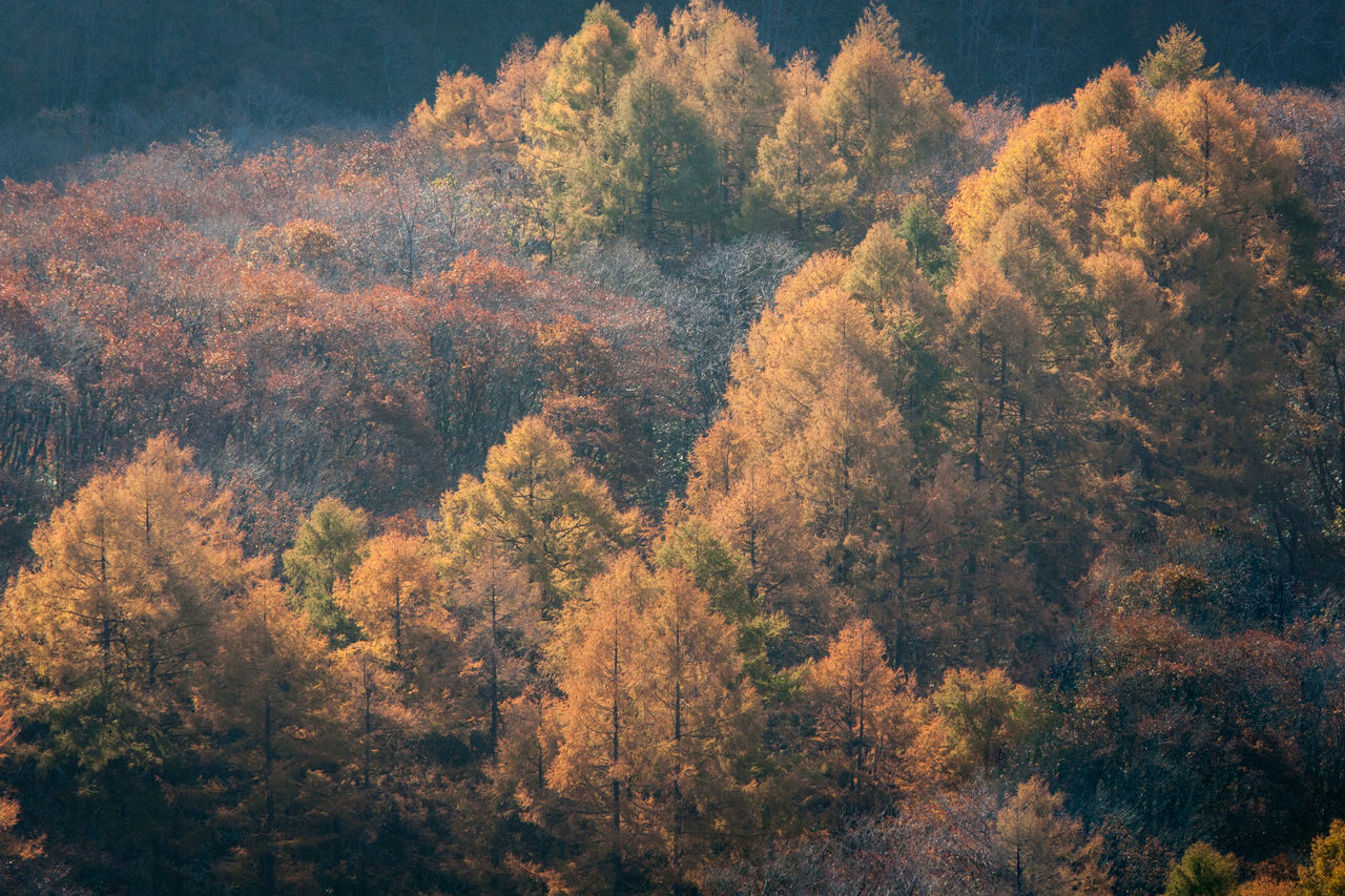 tree, forest, nature, beauty in nature, no people, tranquility, scenics, tranquil scene, outdoors, autumn, growth, day, landscape