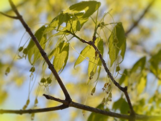 Stuff that grows on my red maple in the spring