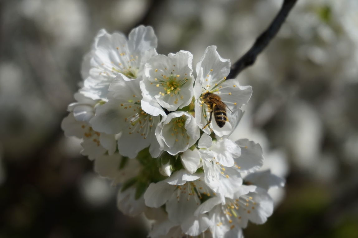 Valledeljerte  Nature Photography Naturaleza Cáceres (Spain) Cáceres Cherry Tree Cerezo Cerezo🍒 Flor Flower Bee 🐝 Bee Bee And Flower Bee On The Flower Abeja Flor Abeja Y Flor Abeja