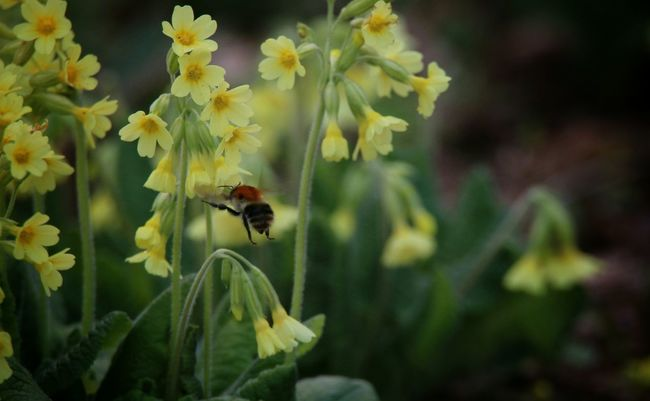 Frühling Springtime Bumblebee Flowers Yellow Flower Beauty In Nature Nature Photography EyeEm Nature Lover Nature_collection Nature On Your Doorstep Wildlife & Nature Capture The Moment No People Umwelt Wiese  Meadow Fresh Flowers