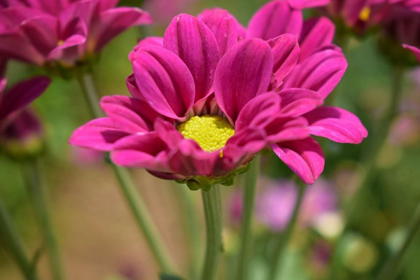 Flower Plant Flower Head Nature Petal Pink Color Close-up Outdoors Beauty In Nature No People Springtime Day Freshness Fragility Beauty Water Poppy Flowers Beauty In Nature Freshness Pink Flower