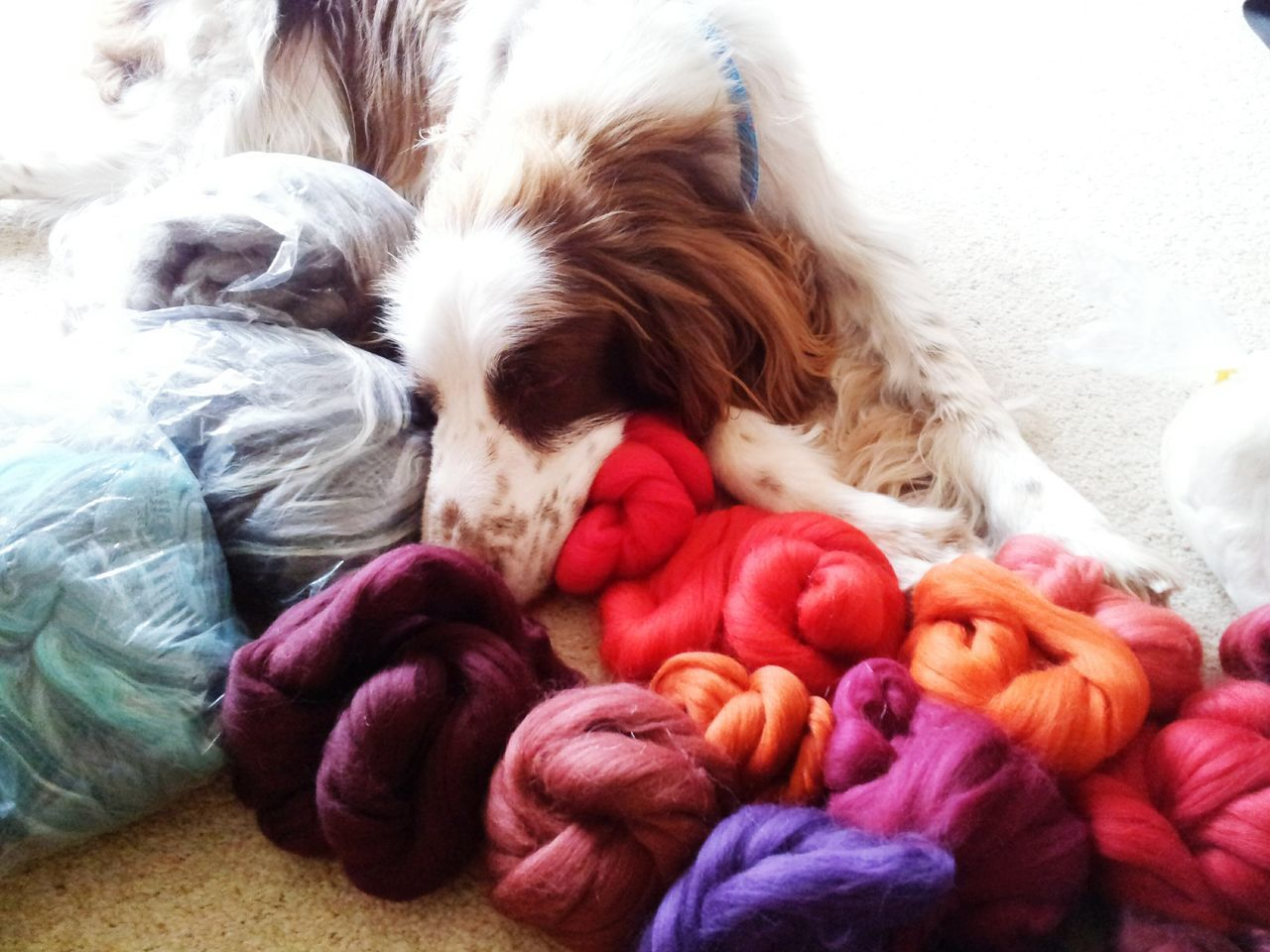 Spaniel sleeping on coloured wool balls Dog Portrait Dog Sleeping  Springer Spaniel Springer Springer Multicolored Wools colours Vibrant Colors Red Burgendy English Springer Spaniel Rufus The Spaniel Pets Dog Purple Colorful Colourful Color Portrait Colours And Patterns Pink Color Red Color