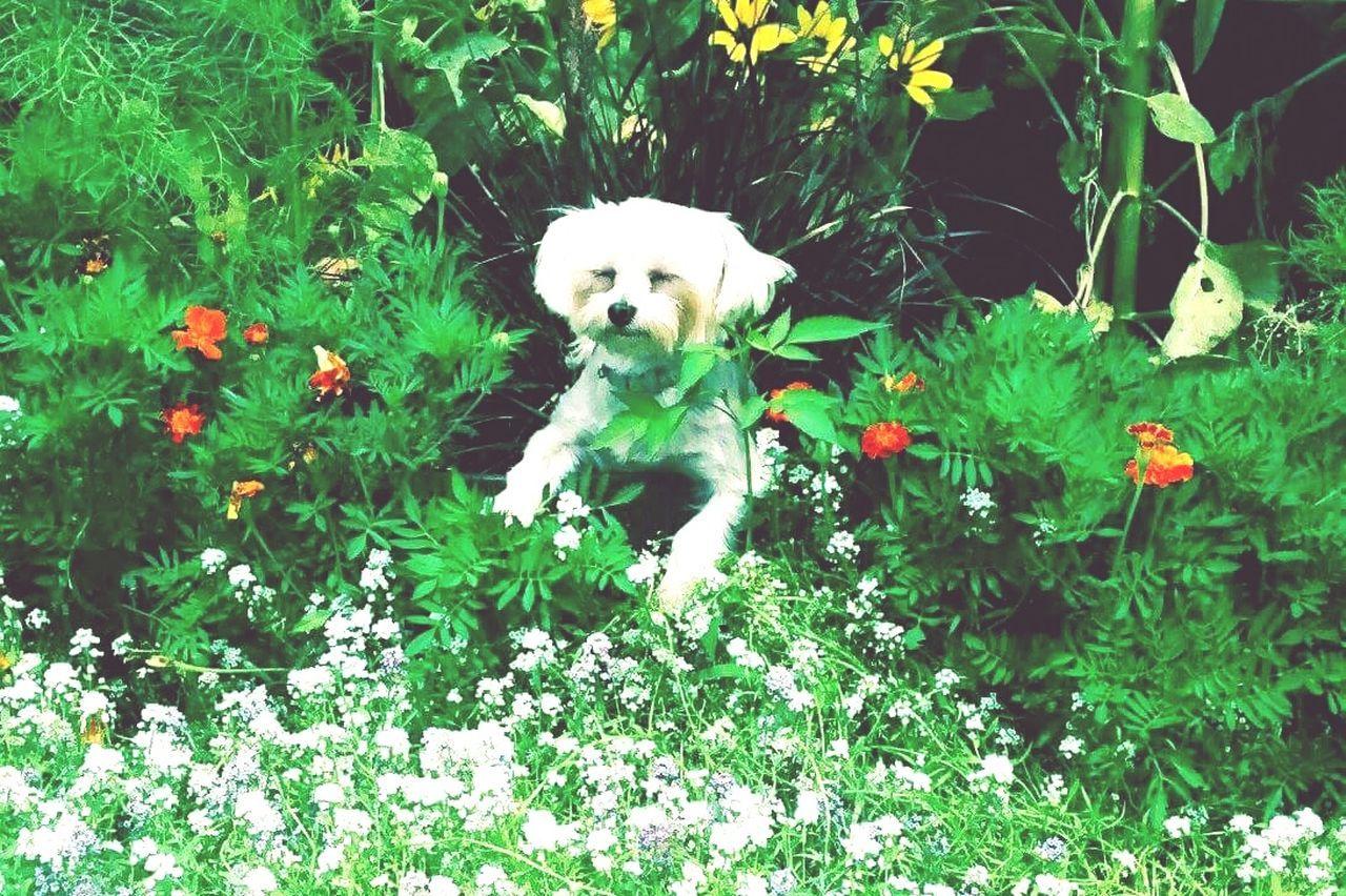 Zen Meditation Garden Meditation Morkie Dogs Naturelovers Flowers,Plants & Garden