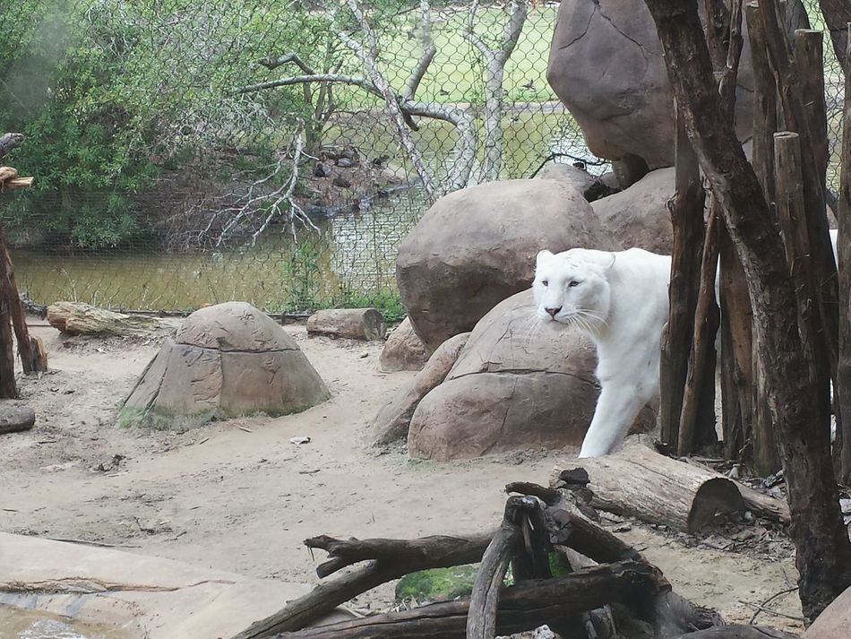 Hello There White Tiger Magestic Eyeem Animal Soul Animal