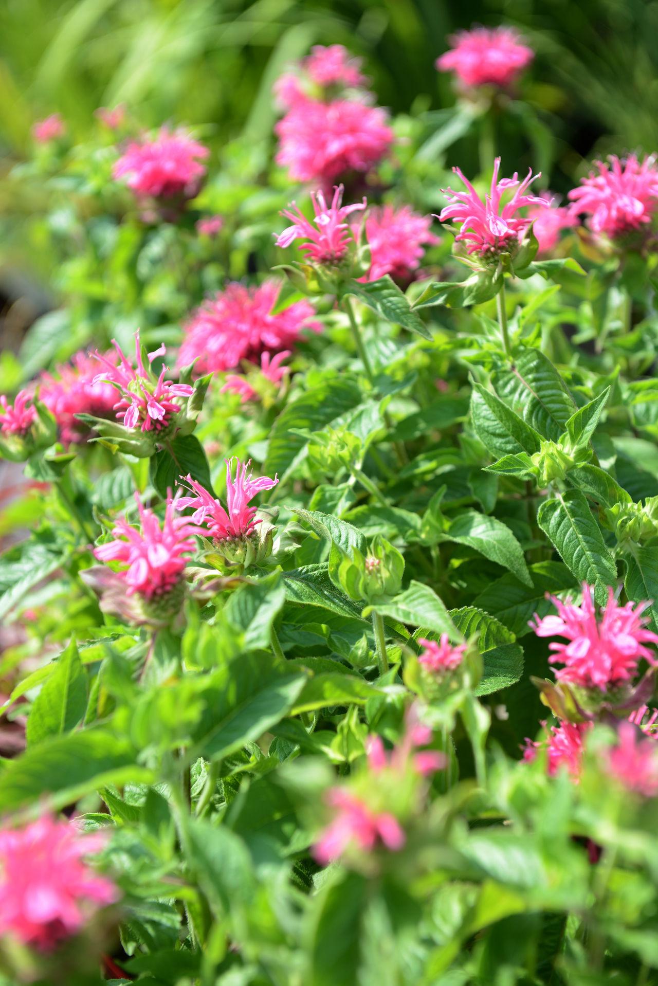 group of crimson beebalm (Monarda didyma) Blooming Botany Flower Pink Color Plant Crimson Beebalm Beebalm Monarda Didyma Monarda Full Frame Herbal Herbal Plant