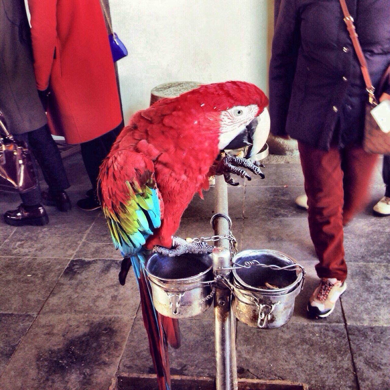 Red Bird Perching Macaw Parrot Parrots Parrot Lover Zhujiajiao Shanghai China